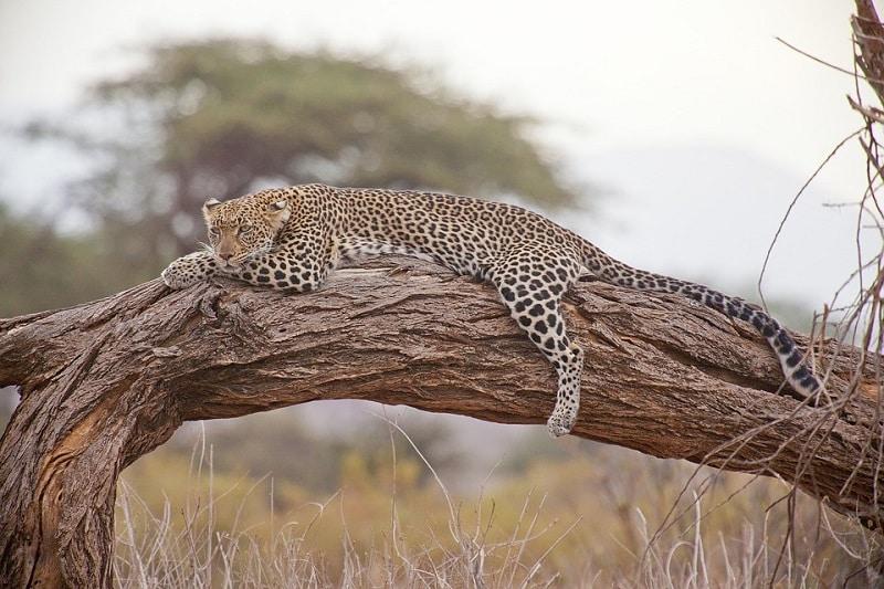 le léopard en afrique