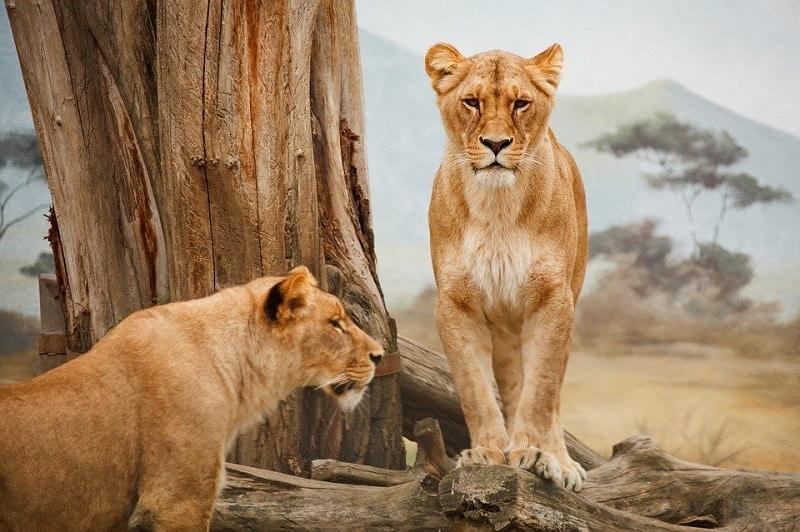 Lionne savane africaine